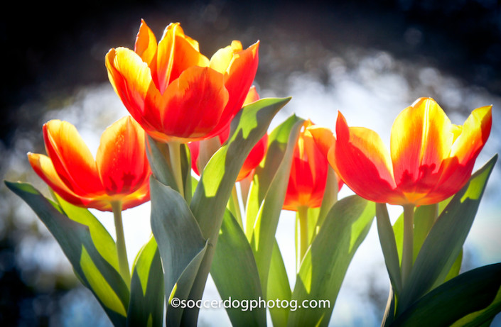 Tulips Waking Up